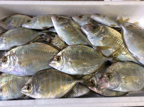 朝どれ富山の旬な魚の記事一覧 |...